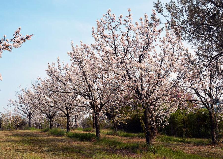 Foto di alberi di ciliegi in fiore